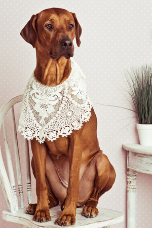 rhodesian: Rhodesian Ridgeback dog dressed like a lady sitting on chair in front of a vanity