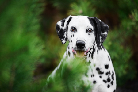 Head shot portrait of Dalmatian dog hiding behind fir-tree Standard-Bild