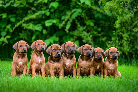 Litter of seven adorable 1,5-month-old Rhodesian Ridgeback puppies sitting in a row on the green grass Stock Photo