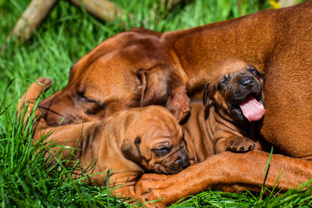 Beautiful large Rhodesian Ridgeback dog lying with her two 3-week-old puppies on the green grass in the garden licking one of them