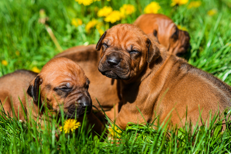 A group of three 3-week-old Rhodesian Ridgeback puppies lying on the green grass in the sun