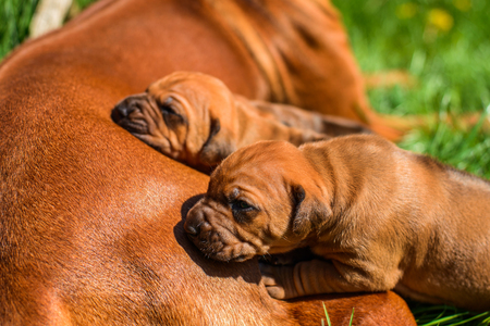 Beautiful large Rhodesian Ridgeback dog lying with her three 3-week-old puppies on the green grass in the garden