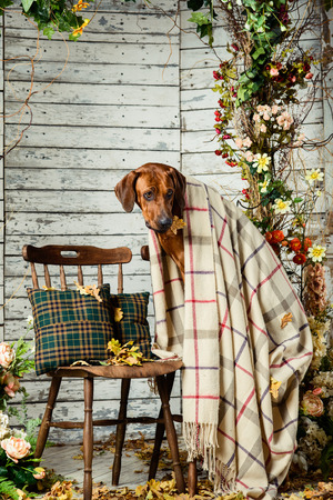 Rhodesian Ridgeback with an autumn leaf in its mouth sitting on a chair covered with a plaid in autumn decorations