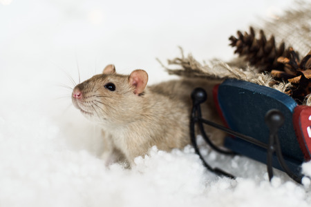 agouti: Funny rat looking out of Christmas decorations of rustic wooden sled full of cones among snow