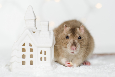 agouti: Funny face rat sitting and eating treats at Christmas decorations of scandinavian house candle holder among snow on garland lights bokeh background Stock Photo