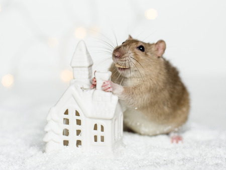 Funny face rat standing at Christmas decorations holding chimney of scandinavian house candle holder among snow on garland lights bokeh background