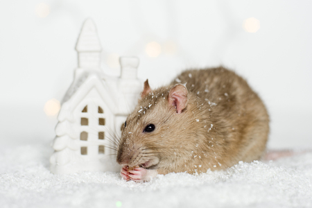 Funny face rat sitting and eating treats at Christmas decorations of scandinavian house candle holder among snow on garland lights bokeh background 免版税图像