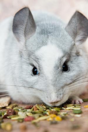 Funny face domestic chinchilla smelling food Reklamní fotografie