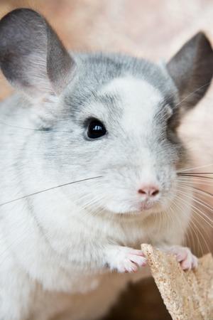 alimentacion balanceada: Adorable domestic chinchilla holding food with arms