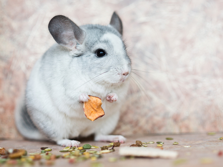 Funny face domestic chinchilla holding food with arms Standard-Bild