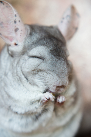 Cute domestic chinchilla eating seeds with appetite