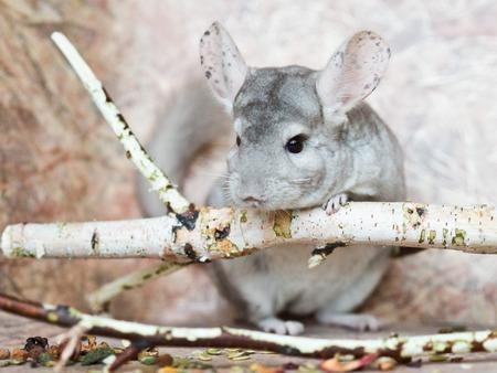 Beautiful domestic chinchilla sits leaning on branch