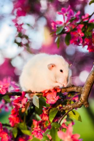 crab apple tree: Shy fancy rat sitting in rose apple blossom  washing itself Stock Photo