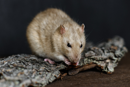 agouti: Grey fancy rat eating nut on dark background Stock Photo