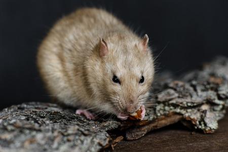 visone: Ratto di fantasia grigio mangiare dado su sfondo scuro