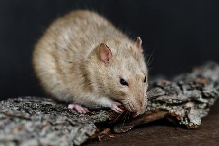 alimentacion balanceada: Rata de fantasía gris comer nuez sobre fondo oscuro