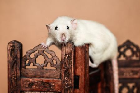 Funny rat balancing on wooden folding screen