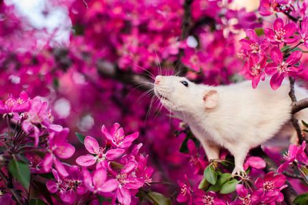Cute fancy rat sitting in rose apple blossom