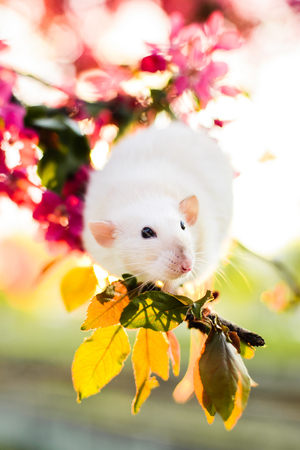 crab apple tree: Cute fancy rat sitting in rose apple blossom
