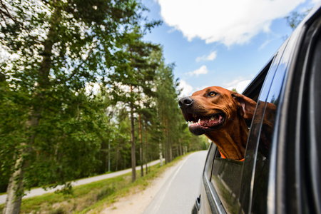 Ridgeback dog enjoying ride in car looking out of window Imagens - 80866772