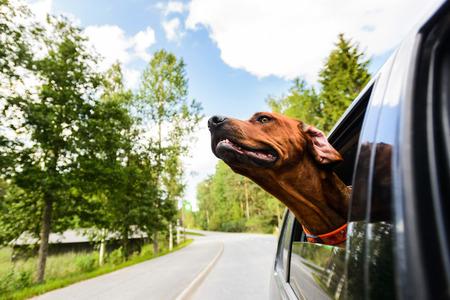 Ridgeback dog enjoying ride in car looking out of window