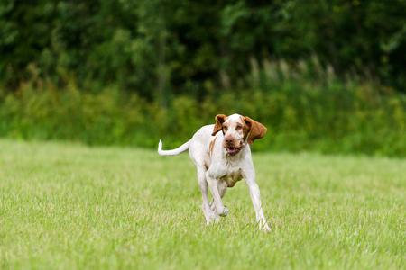 フィールドを走っている・ ブラッコ ・ イタリアーノ狩猟犬