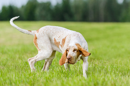 Bracco Italiano hunting dog running in the field