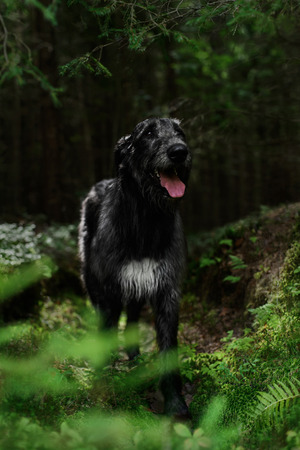 Gloomy Irish Wolfhound standing in the forest