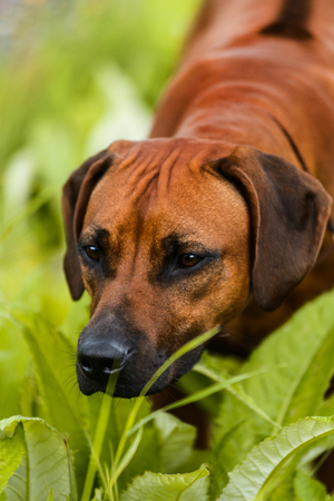 Rhodesian Ridgeback watching and smelling something in the grass Stock Photo - 80894500
