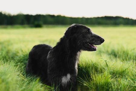 Irish wolfhound debout dans le champ de blé au coucher du soleil Banque d'images - 80924485