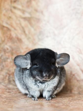Funny face fluffy blue grey domestic chinchilla