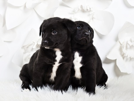 Two adorable fluffy puppies leaning to each other, white backgro Stock Photo