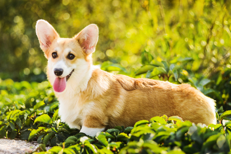 Funny Welsh Corgi Pembroke standing in grass Stock Photo