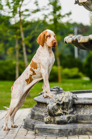Bracco Italiano pointer female standing on fountain Banque d'images - 113668450