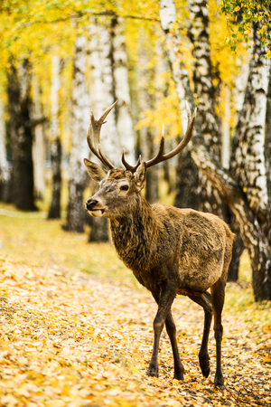 Adult deer walking on golden leaves in autumn forest Stock Photo