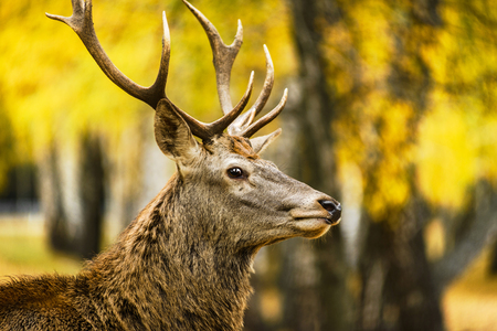 Portrait of red deer in autumn forest