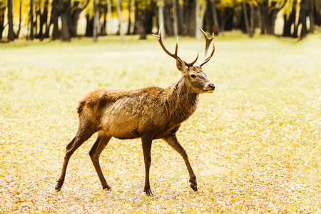 Adult deer walking in golden autumn field Фото со стока - 113668649