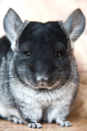 Funny face fluffy domestic chinchilla, close-up portrait