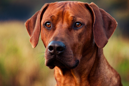 Adorable Rhodesian Ridgeback portrait in nature scene