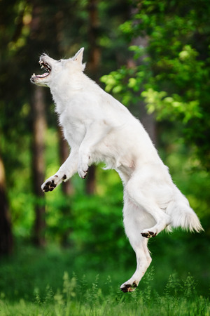 Berger Blanc Suisse catching puller toy  in high jump
