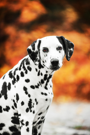 Smilling Dalmatian dog portrait on golden autumn background