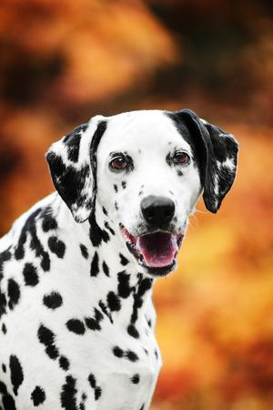 Smilling Dalmatian dog portrait on golden autumn background Reklamní fotografie - 113668968