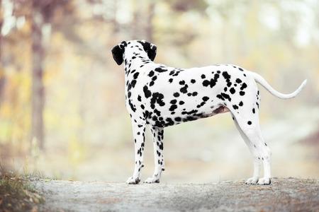 Dalmatian dog standing on golden autumn background