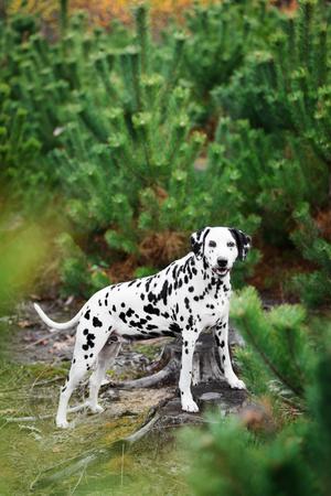 Dalmatian dog hiding behind fir-tree Reklamní fotografie - 114813026