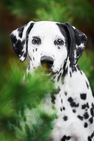 Smilling Dalmatian dog hiding behind fir-tree Stockfoto