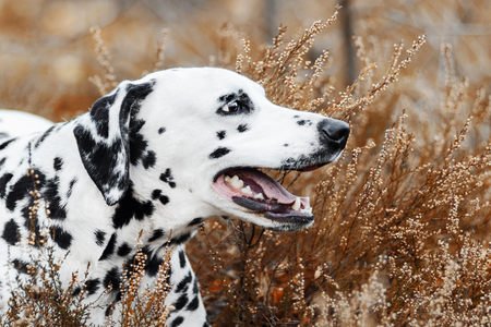 Smilling Dalmatian dog lying on golden autumn background 스톡 콘텐츠