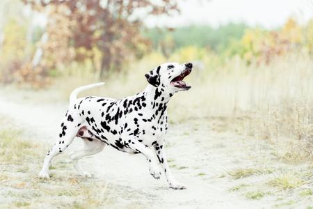 Dalmatian dog playing on golden autumn background Reklamní fotografie