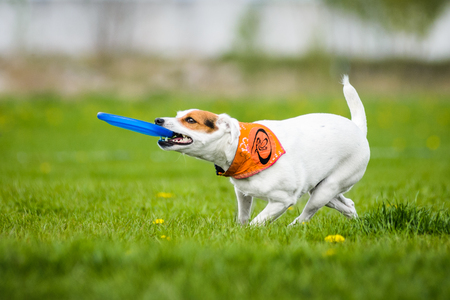 Jack Russell Terrier catching frisbee disk