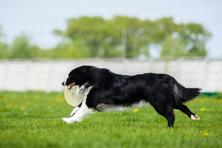 Border Collie running with frisbee disk Stock Photo
