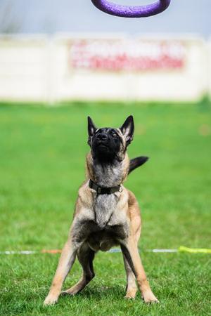 Funny face Belgian Shepherd catching puller toy Stock Photo